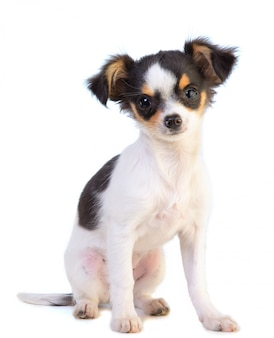 Chihuahua sentado