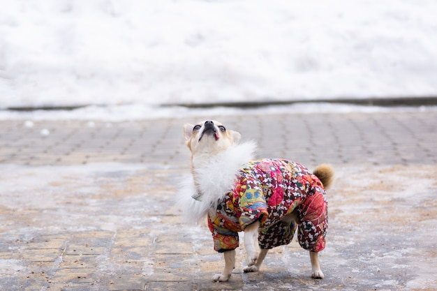Chihuahua terno no inverno