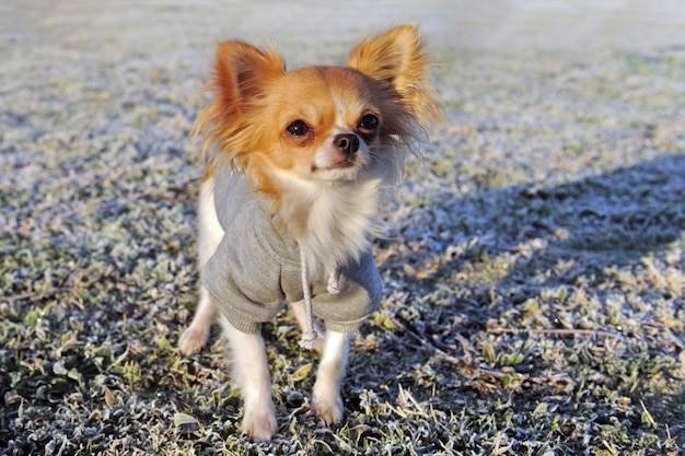 Chihuahua vestida no inverno
