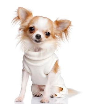 Chihuahua vestida