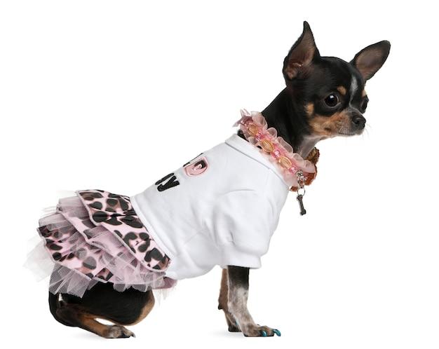 Chihuahua, vestido, 1 ano de idade, vestido e sentado em frente a parede branca
