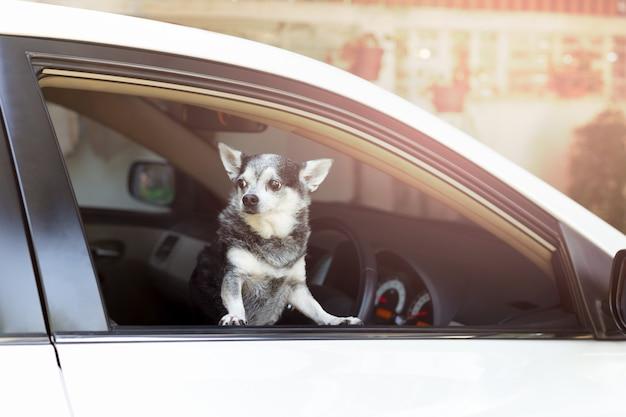 Chihuahuadog que olha fora do proprietário de espera da janela de carro.