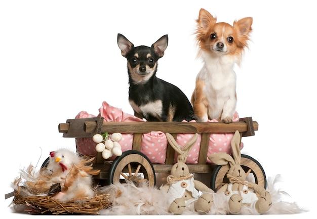 Chihuahuas, 14 meses, sentado na carroça de cama de cachorro com bichos de pelúcia da páscoa