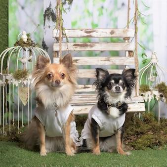 Chihuahuas com camisa branca, em decoração pastoral