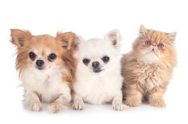 Chihuahuas e gatinho persa
