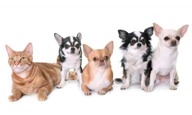 Chihuahuas e gato isolado