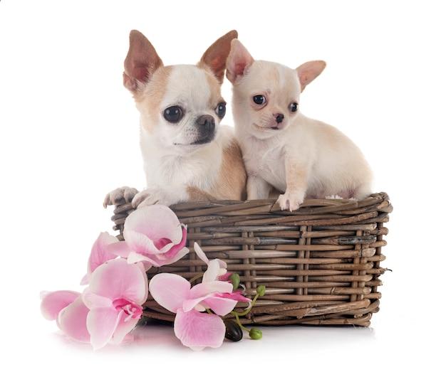 Chihuahuas em branco