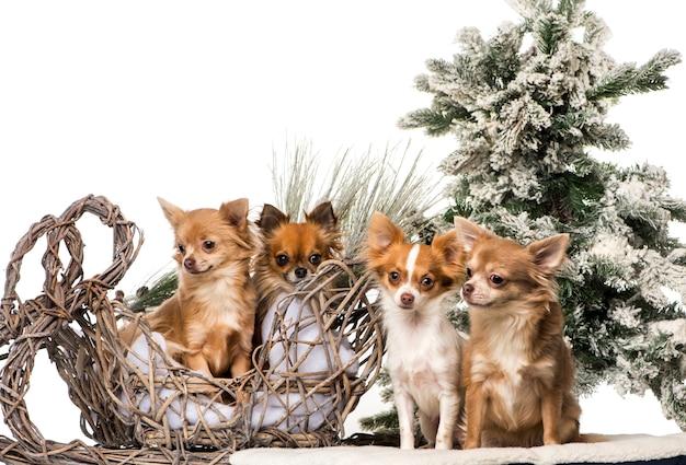 Chihuahuas em frente a um cenário de natal
