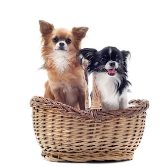 Chihuahuas na cesta