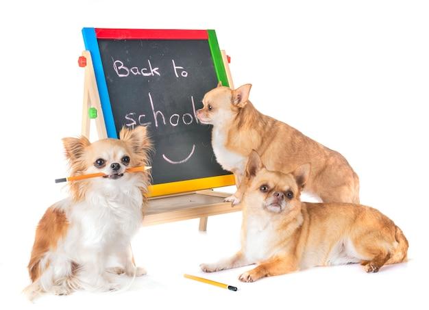 Chihuahuas na escola