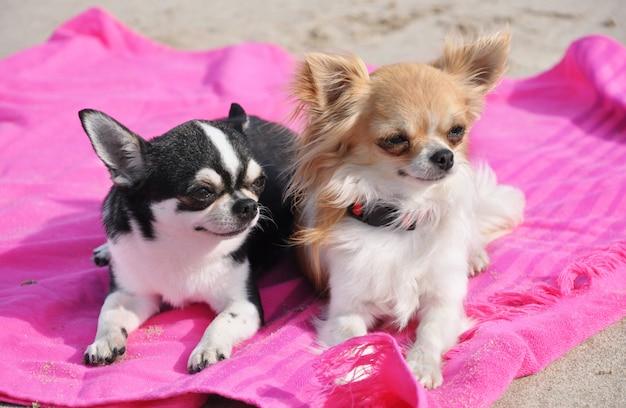 Chihuahuas na praia