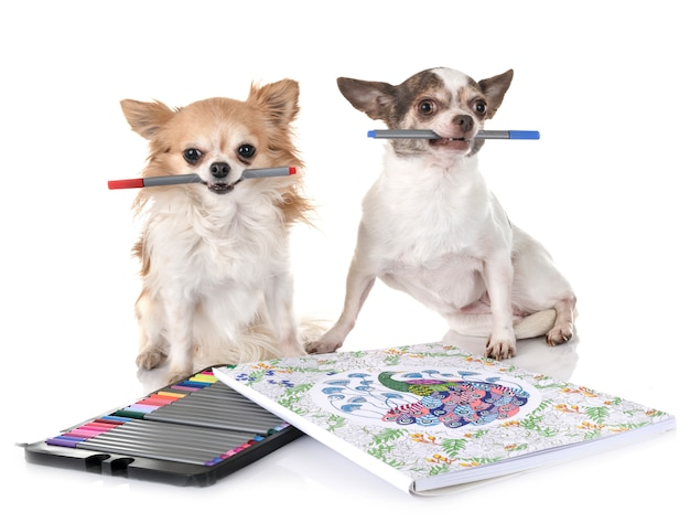 Chihuahuas no estúdio