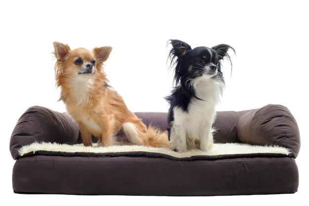 Chihuahuas no sofá