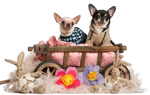 Chihuahuas sentado na carroça de cama de cachorro com bichos de pelúcia
