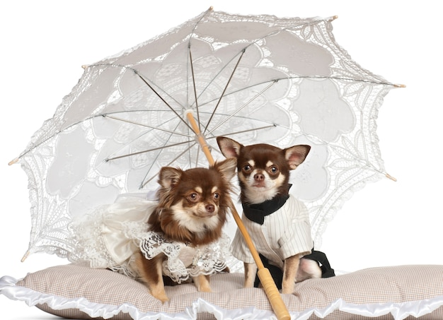 Chihuahuas sentado sob guarda-sol contra fundo branco