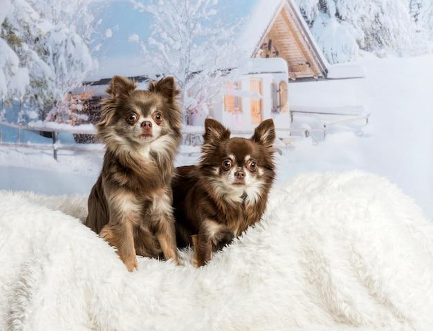 Chihuahuas sentados em cena de inverno