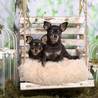 Chihuahuas sobre travesseiro, em decoração pastoral