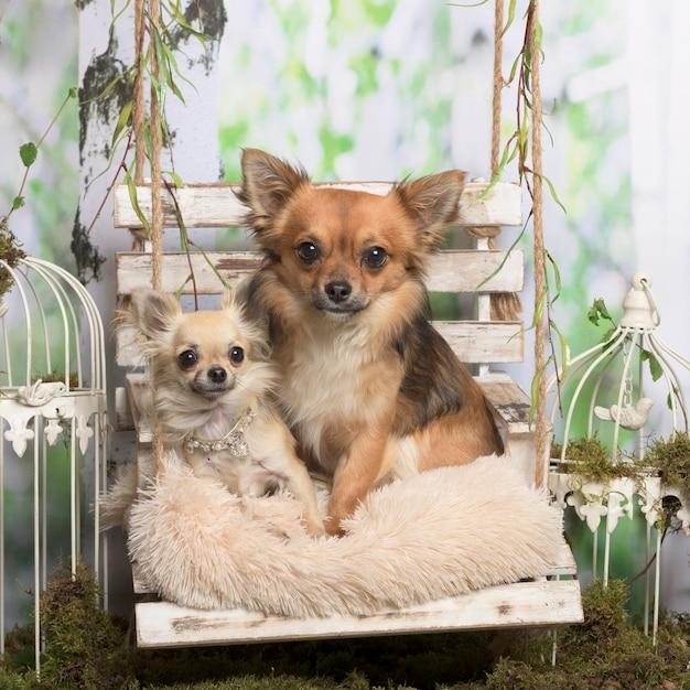Chihuahuas velhos e jovens em um travesseiro, em decoração pastoral