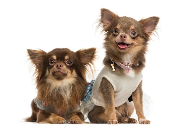 Chihuahuas vestidos lado a lado, isolados no branco