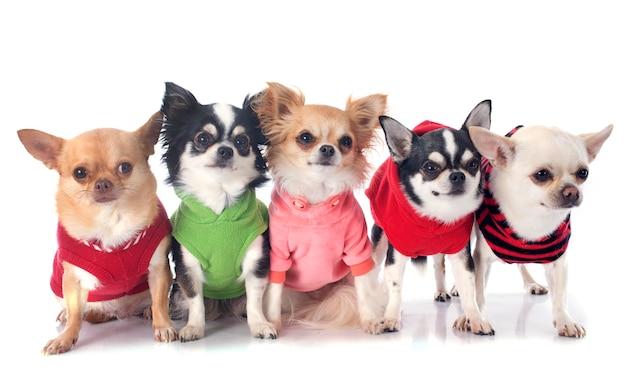 Chihuahuas vestidos