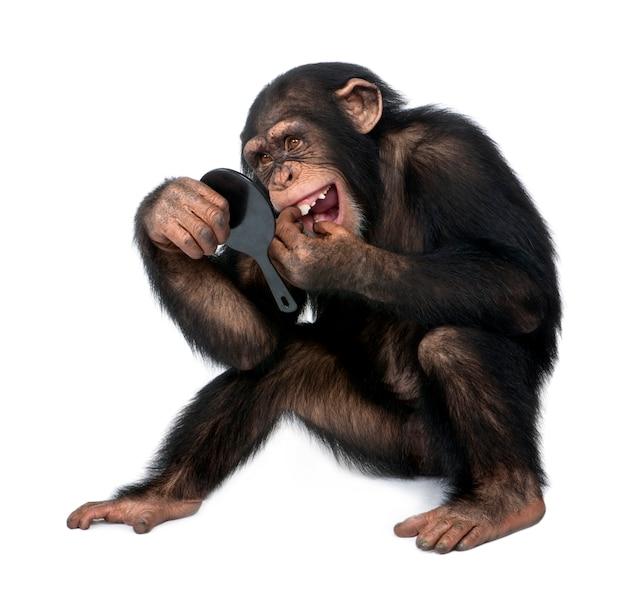 Chimpanzé jovem olhando para os dentes em um espelho