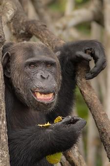 Chimpanzé no habitat natural chimpanzé em congo