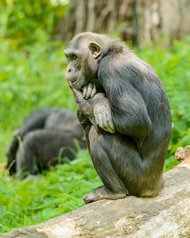 Chimpanzé sentado em um tronco e pensando, no zoológico