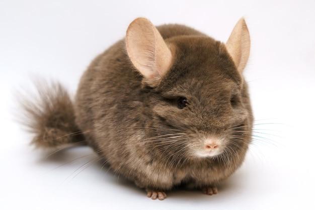 Chinchila marrom fofa e fofa em um animal roedor de estimação com fundo branco