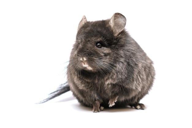 Chinchila preta fofa em um animal de estimação peludo de fundo branco