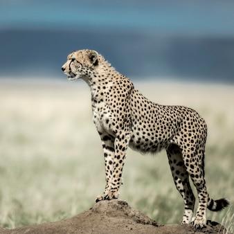Chita em um monte observando o parque nacional do serengeti