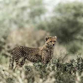 Chita filhote no parque nacional serengeti