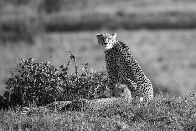 Chita mãe com dois filhos na savana queniana
