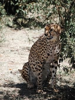 Chita mostra os dentes em masai mara, áfrica