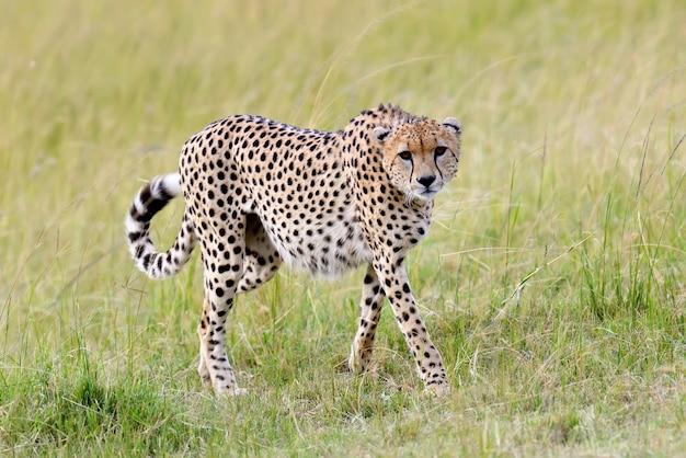 Chita selvagem africana, belo animal mamífero. áfrica, quênia