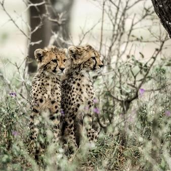 Chitas filhotes no parque nacional serengeti