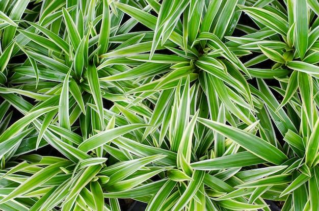 Chlorophytum bichetii (karrer) backer.