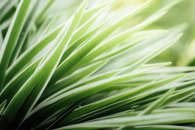 Chlorophytum comosum fundo