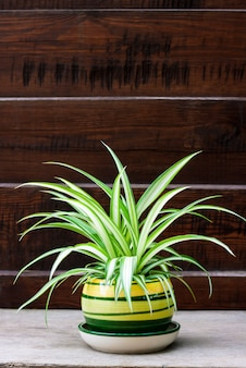 Chlorophytum comosum (também conhecida planta de aranha) em uma panela em cima da muro de madeira