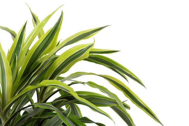 Chlorophytum - plantas perenes de floração perene