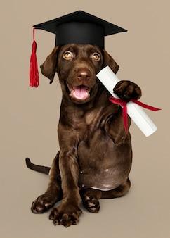 Chocolate fofo labrador retriever em um chapéu de formatura e segurando um certificado roll