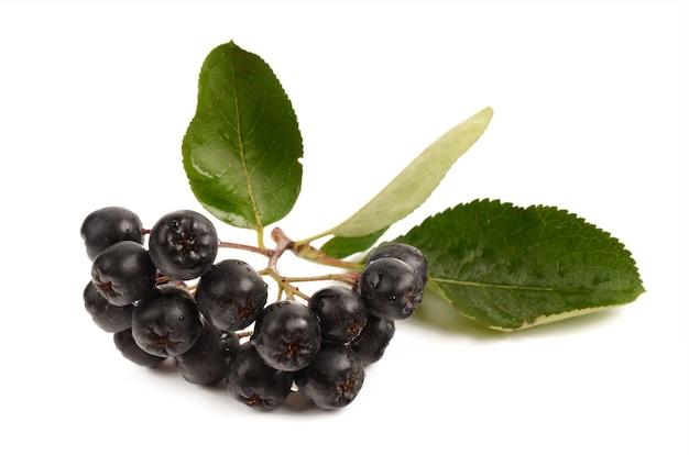 Chokeberry em um branco