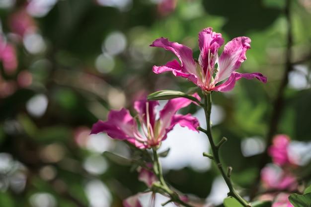 Chongkho flores na árvore.