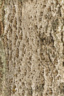 Choupo com textura de madeira de cor marrom escuro e áspero da casca de árvore