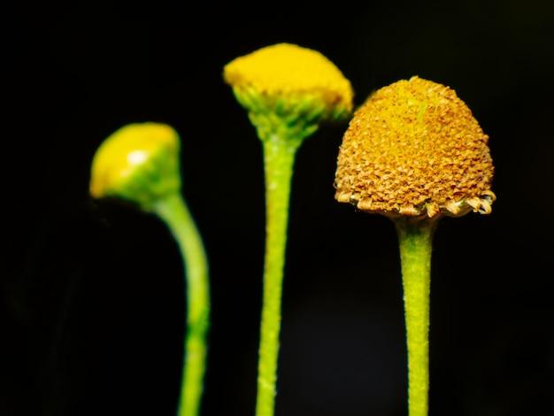 Chrysanthemum morifolium existem muitas espécies de arbustos baixos, muitas cores de amarelo