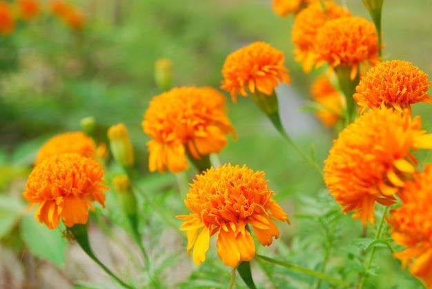 Chrysanthoms florescem no jardim