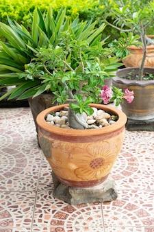 Chuanchom é a árvore da fé da sorte. lindas flores em vaso. objeto decorativo de jardinagem.