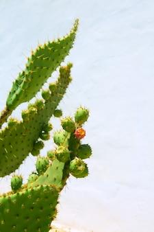Chumbera nopal frutos de pera espinhosa
