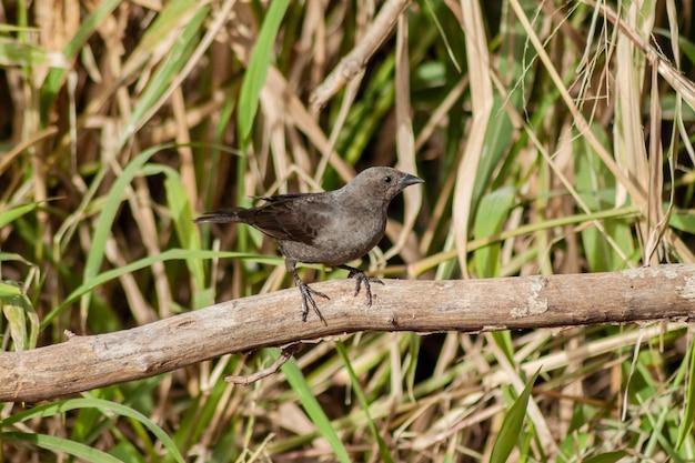 Chupi fêmea brilhante, molothus bonaerensis, em um galho. ave típica dos ambientes urbanos e periurbanos da argentina.