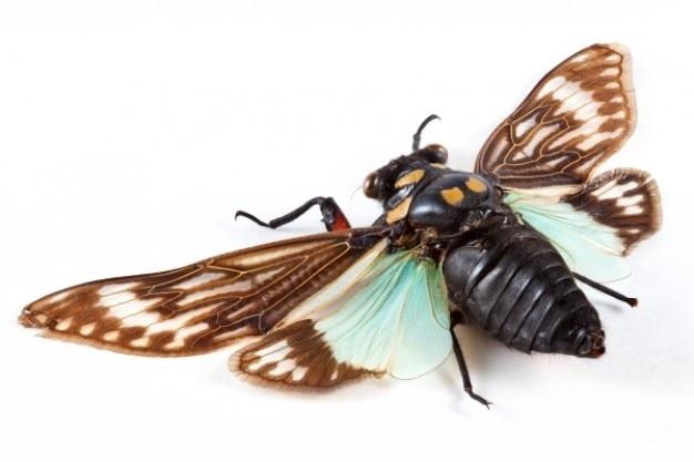 Cicadidae sp cigarra