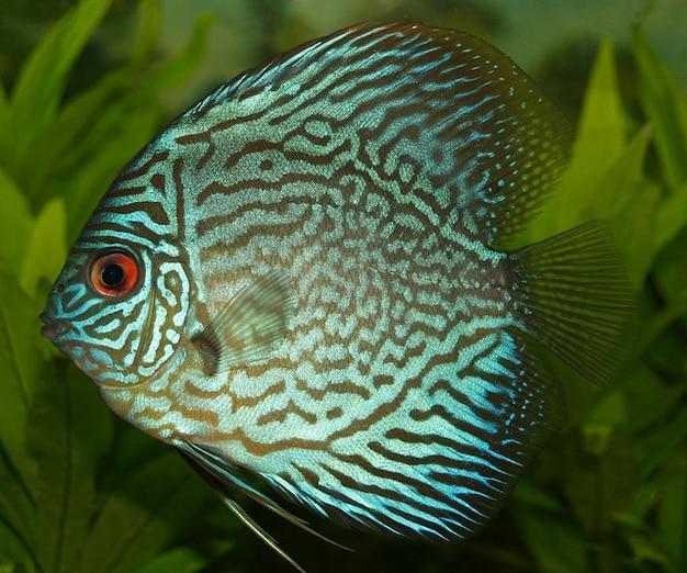 Cichlid vara peixes discus de água doce